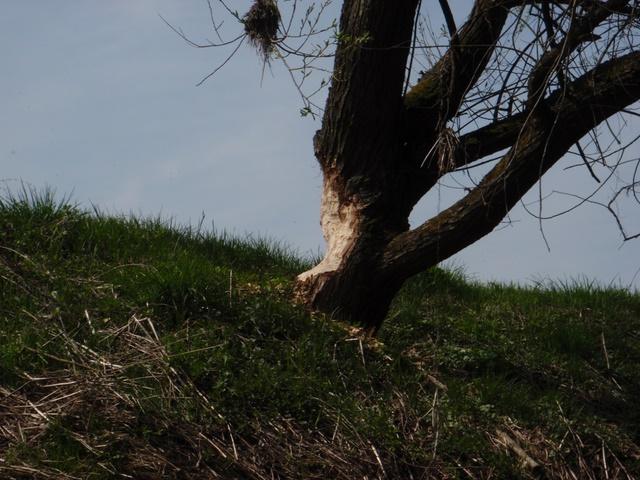 Biber Spuren an den Bäumen