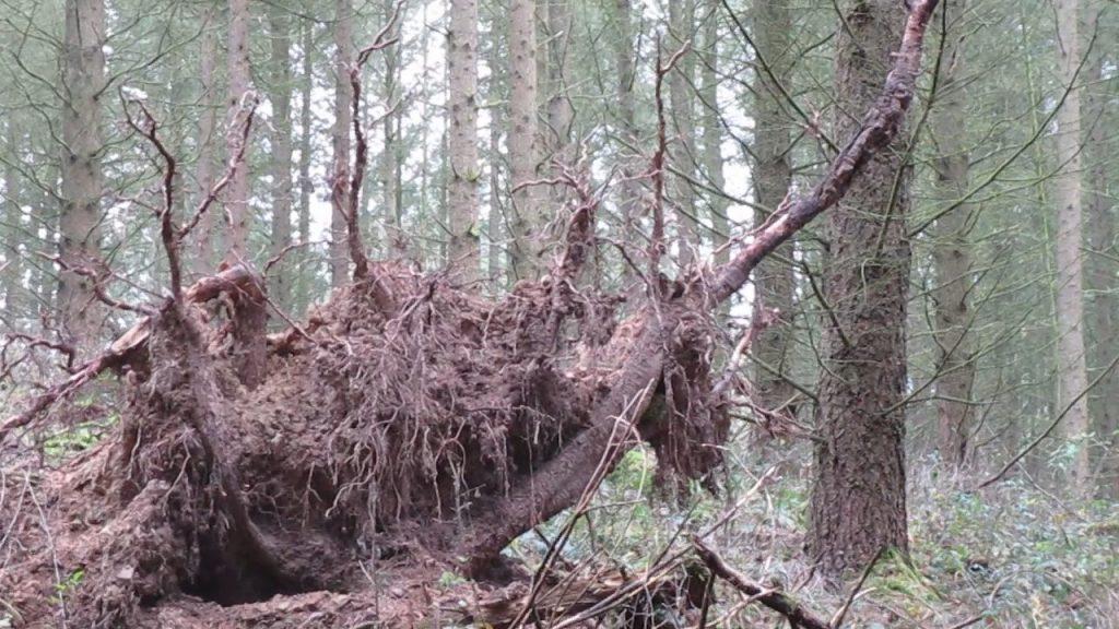 Freigelegtes Wurzelwerk eines umgekippten Baums