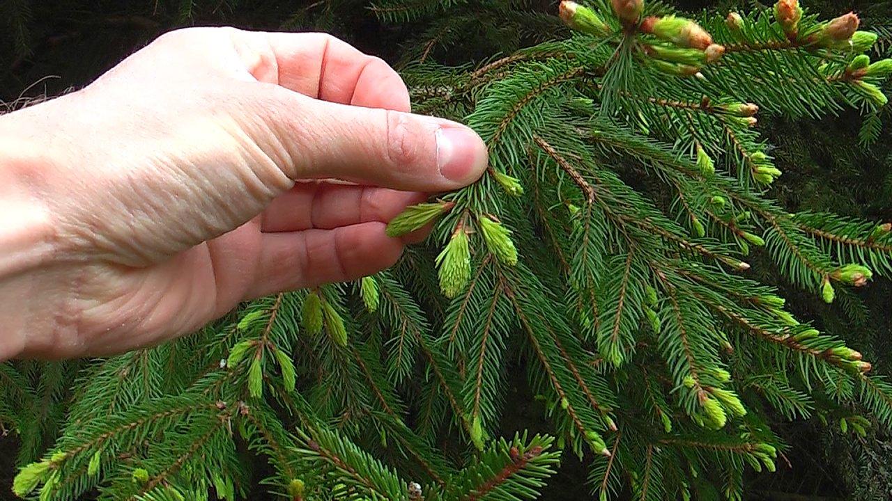 Frische Fichtenspitzen am Baum